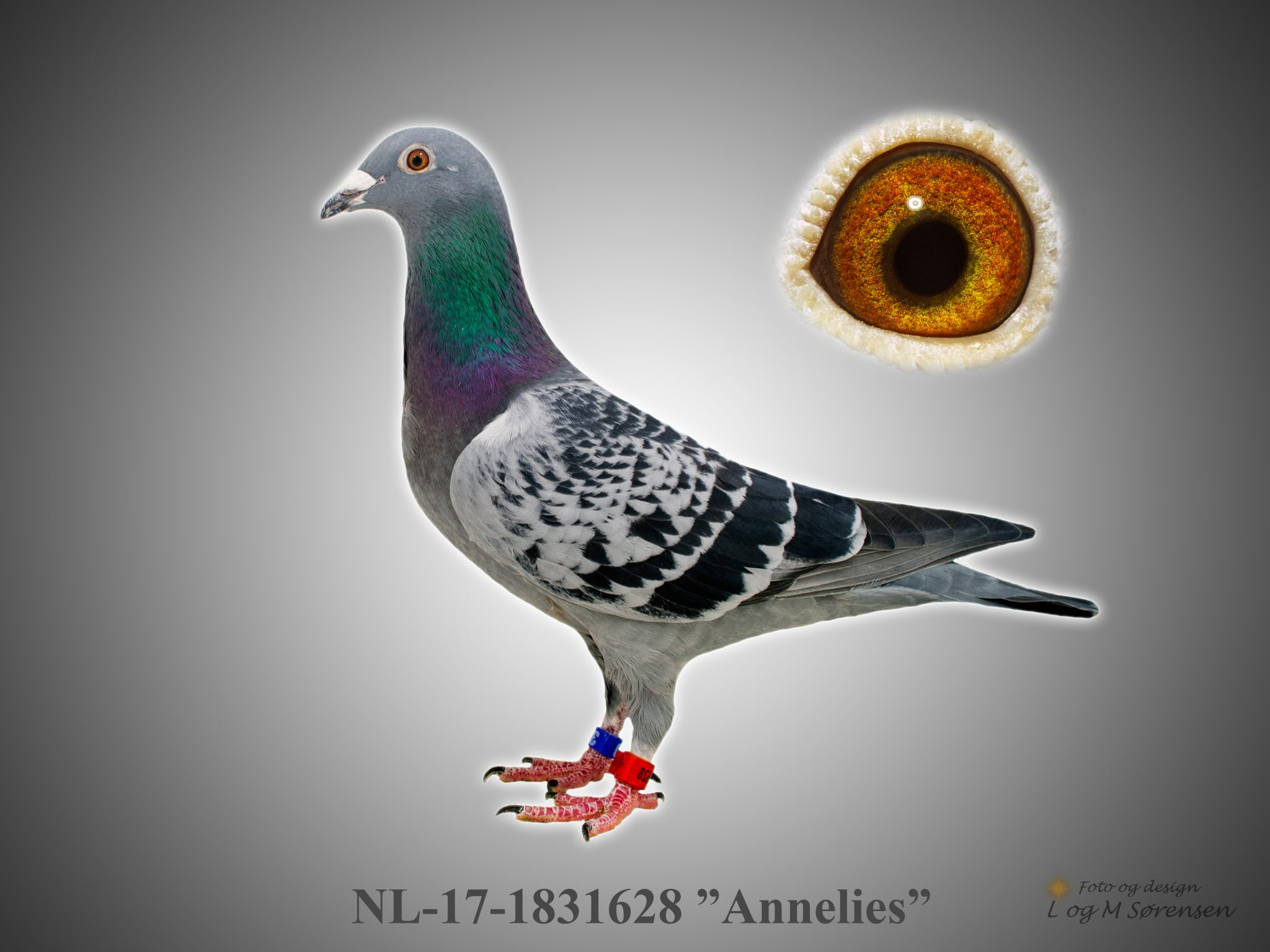 """Rede 1 NL 17-1831628 """"Annelies"""""""