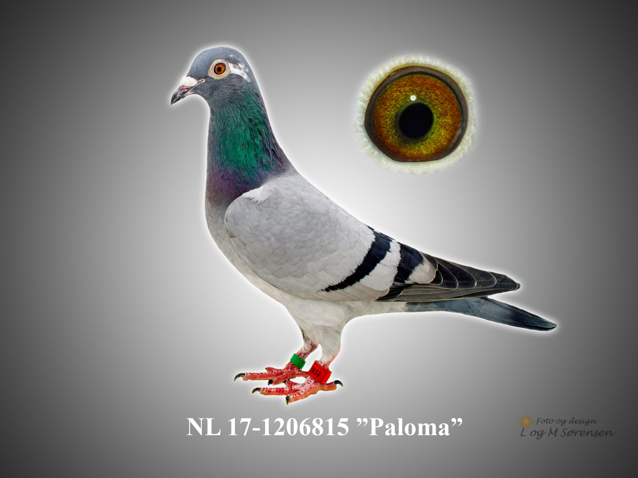 "Rede 3 NL 17-1206815 ""Paloma"""